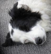 sleeping black and white border collie