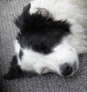 sleeping black and white border collie