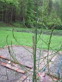 May 2017 015 Asparagus branches