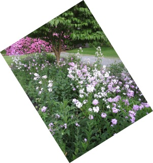 6-2-17 Phlox and Columbine Garden 019