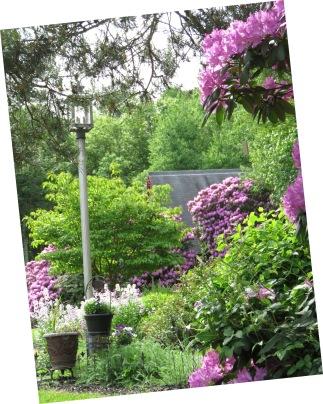 garden 5-27-17 005 rhododendrun