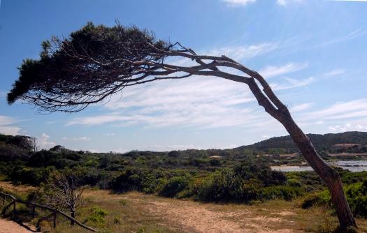 Baum_Sardinien Bending Tree
