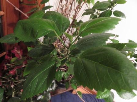 indoor plants 001 hibiscus