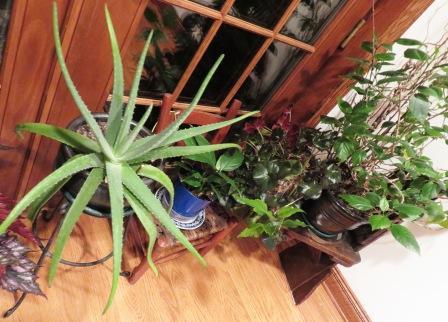 indoor plants 002 healthy plants