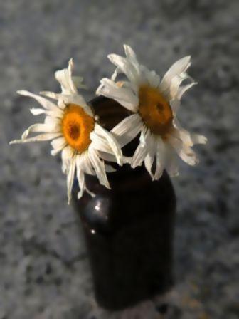 frazzled daisy-9B