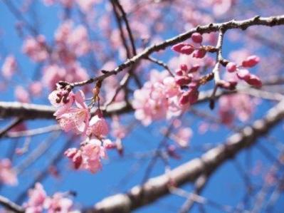 jongjit-pramchom-211559 cherry blossom