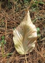 10-22-17 172 Tan leaf