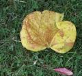 10-22-17 192 Large yellow leaf