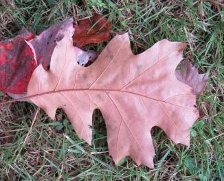 Terracotta Colored Oak leaf