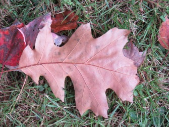 10-24-17 leaves 131 Oak leaf