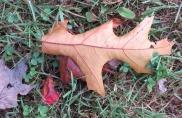 10-25-17 066 oak leaf