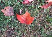 10-25-17 074 red burgundy myriad leaves