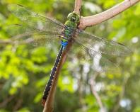 green-blue dragonfly-plain-2757499_1280