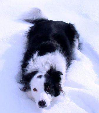 Black and white border collie lying in the snow intentlyawaiting a Frisbee toss