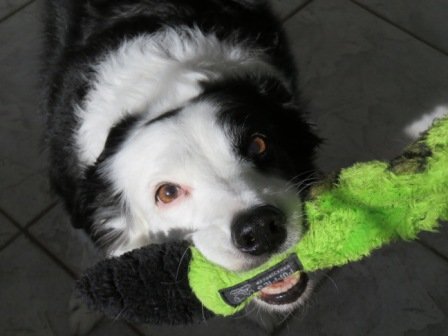 Black and white border collie smiling with green fuzzy play toy