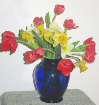 blue tulip daffs 011