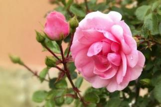 rose-1426275_1280