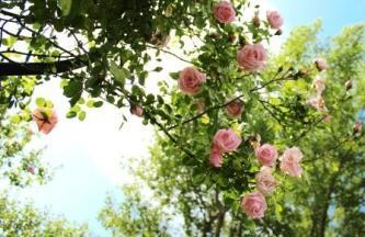rose-369014_1280
