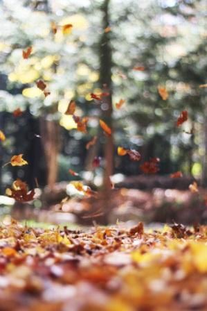 Colorful autumn leaves blowing in the forefront of an evergreen forest