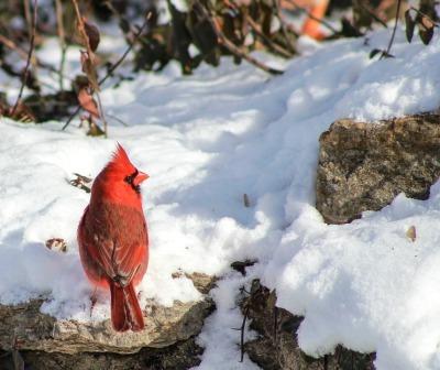 cardinal-3261011_1280