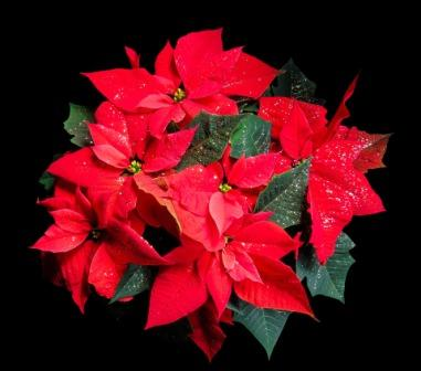 flower-1829706_1920 pointsettia