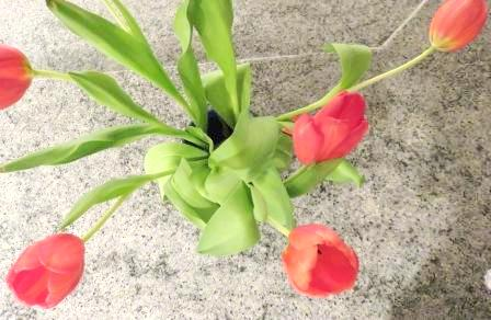 red tulips 004