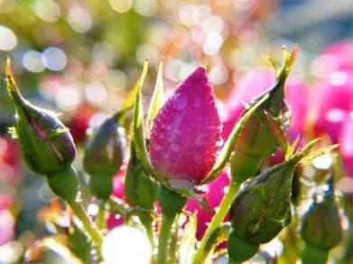 raindrops on pink rose buds