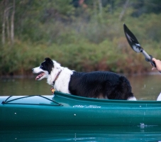 Border Collie kayaking
