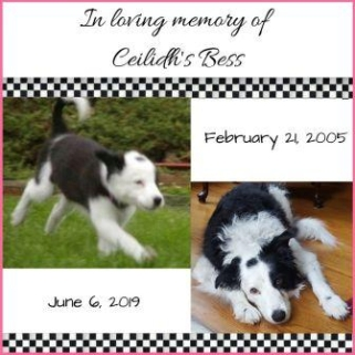 Border collie pup and senior
