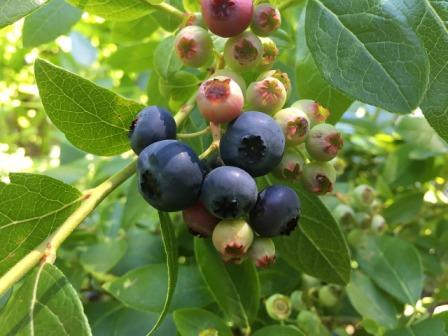 Unripened and ripened blueberries on a bush