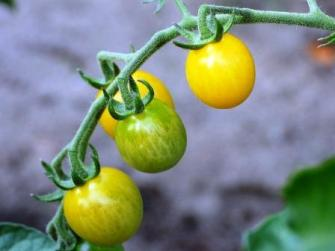 Yellow and green cocktail tomatoes on the vine