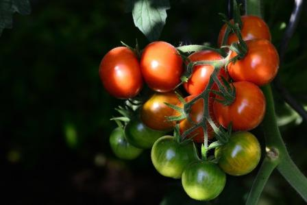Various stages of ripened and unripened cherry tomatoes