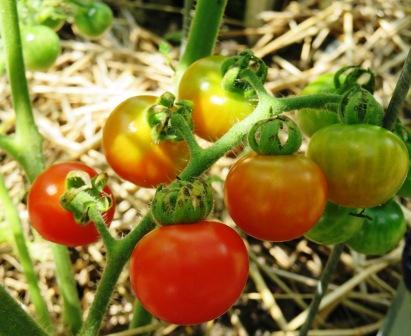 tomatoes 8-9-19 015