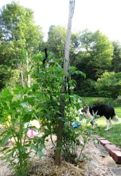 Bess' Frisbee in the tomato patch