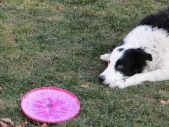 Bess always waiting for more Frisbee