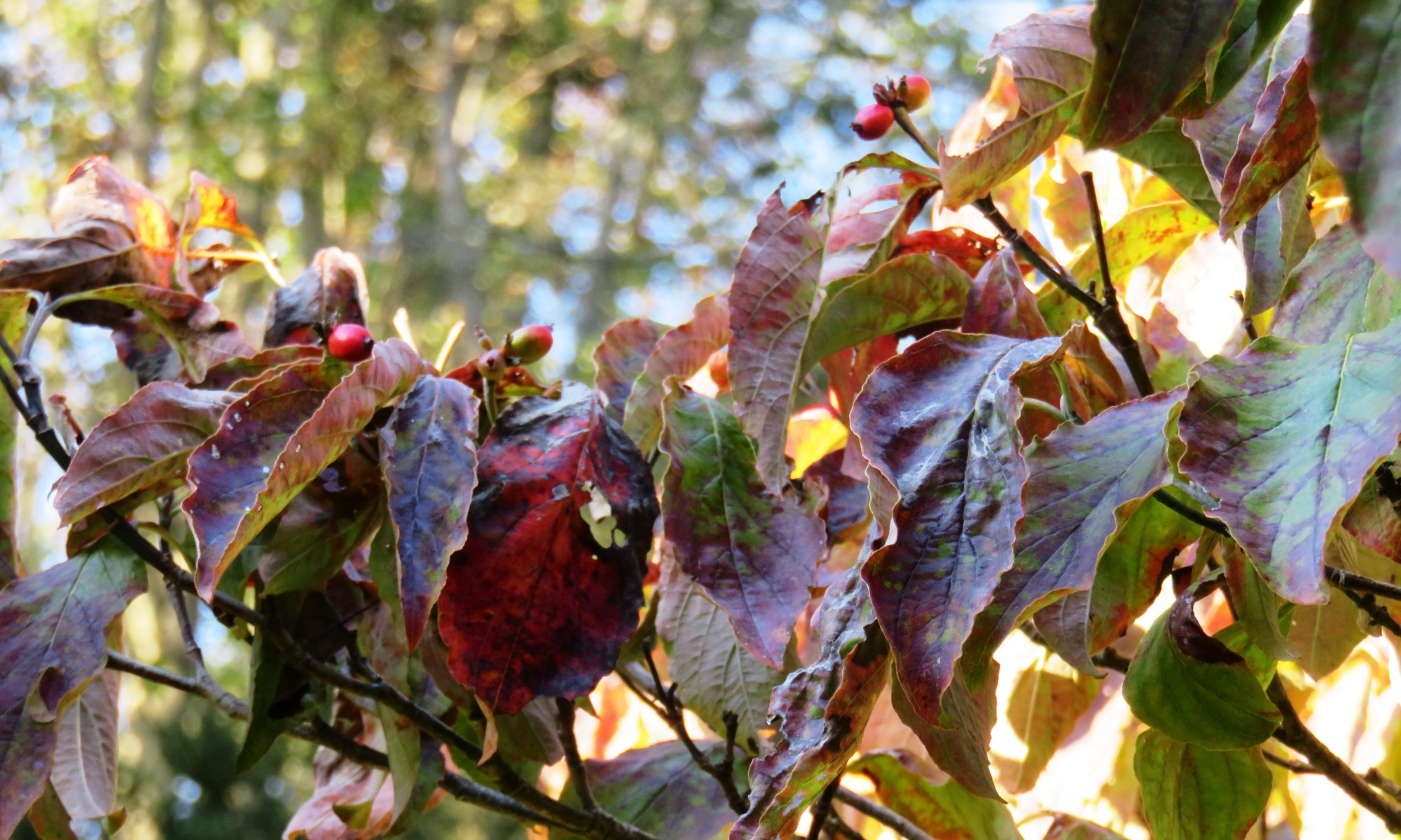Close-up of wrinkled burgunday, red and green Dogwood leaves with red berries on a branch amidst blue sky backdrop