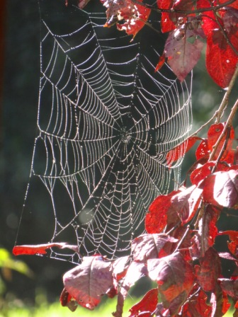 Intricate gossamer spider web hanging between branches with insect bitten burgundy leaves of a Ornamental Plum tree