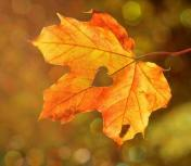 Golden red leaf with a heart in the middle