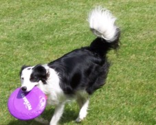 Photo of black/white border collie playing frisbee