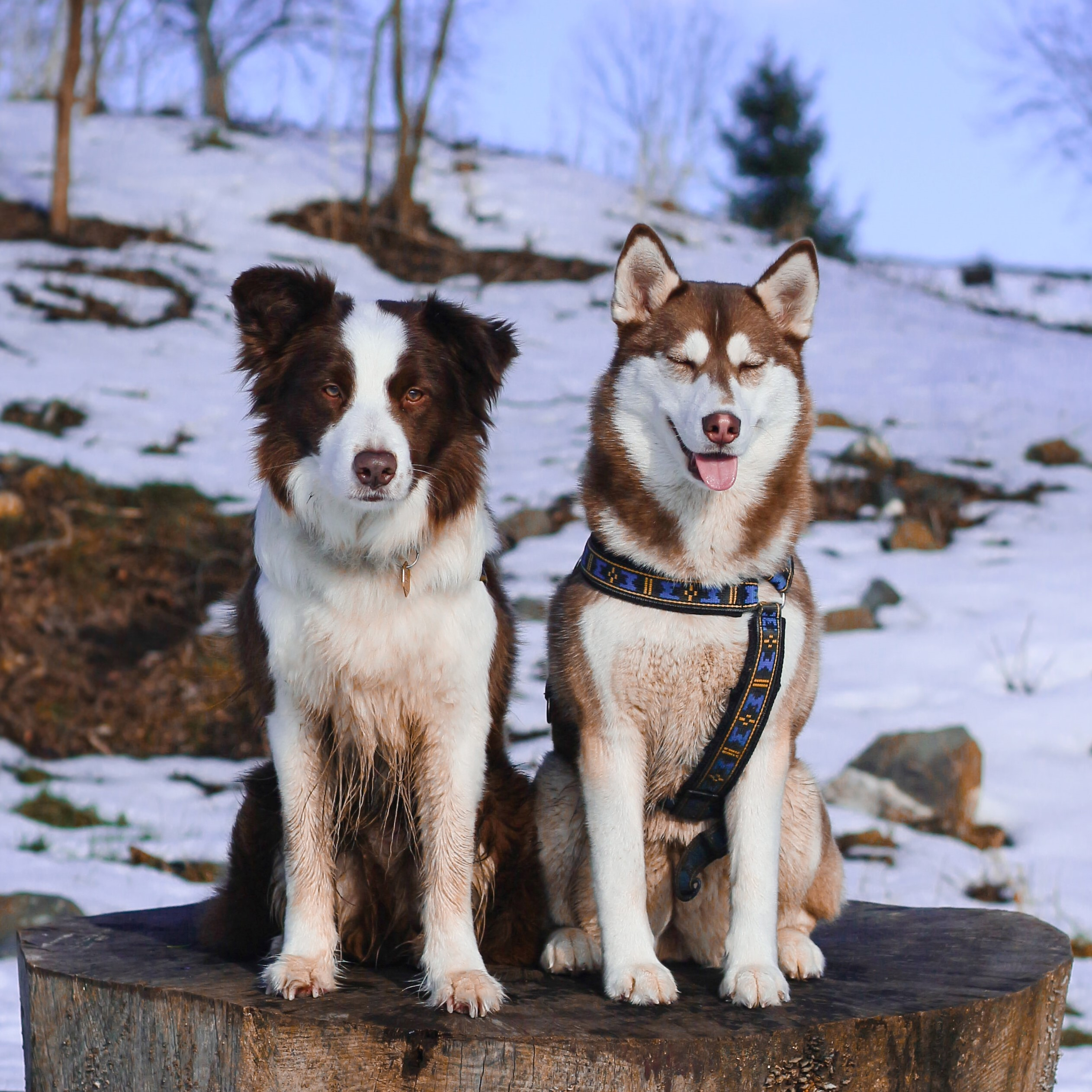 Photo of black/white border collie and brown/white husky side by side
