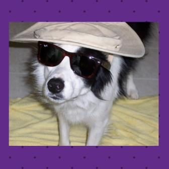 Photo of black/white border collie with Ray Ban sunglasses and beach hat