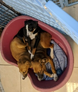 Bed of 3 puppies in a pen