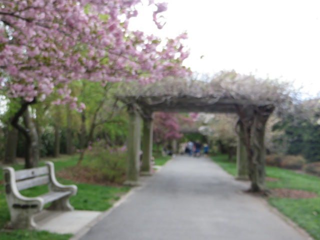 Cherry Blossoms gracing the pathways in Brooklyn's Botanical Gardens, NY