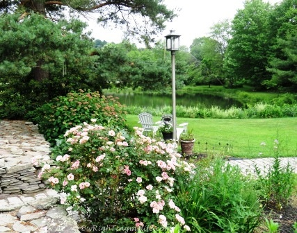 Entrance garden flanked by bush of pale pink roses in bloom with backdrop of pink hydrangea waiting to bloom overlooking the pond