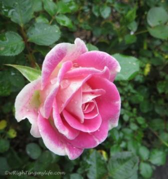 Morning Dew on Single Pink Rose