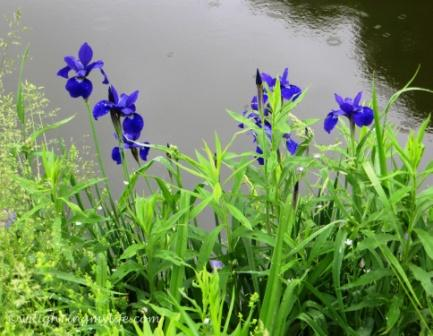 Royal Purple Irises on water's edge