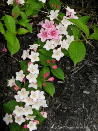 Pink and white star shaped flowers on Carnival Weigela shrub