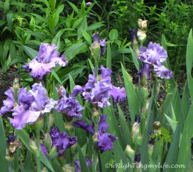 Bearded Purple Irises