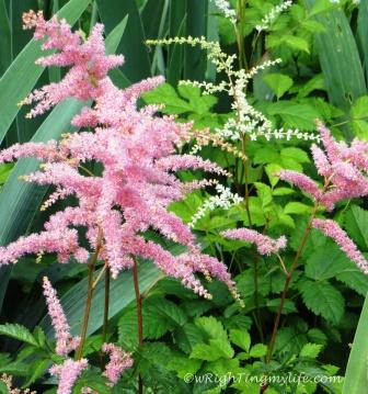 Tender Pink Astilbe