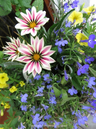 Pink and white striped painted daisies, yellow bell petunias purple lobelia